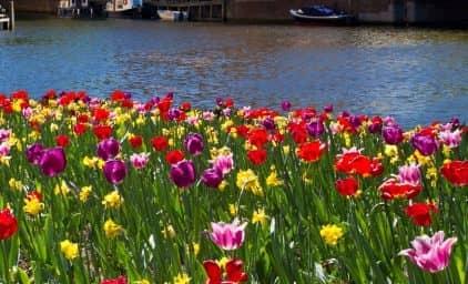 Tulpenblüte Holland & IJsselmeer