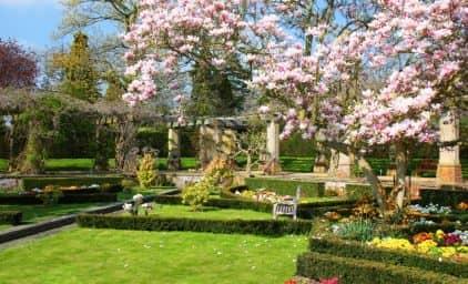 Kirschblüte in Kent, Südengland